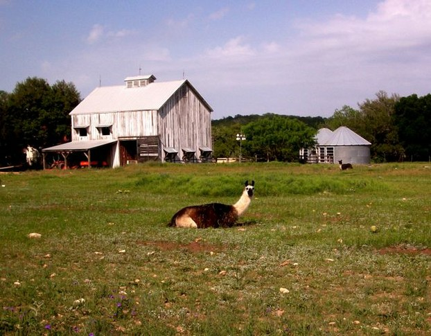 Lama-Farm im Texas Hill Country