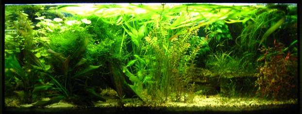 wie pflanzt man aquarienpflanzen richtig ein. Black Bedroom Furniture Sets. Home Design Ideas