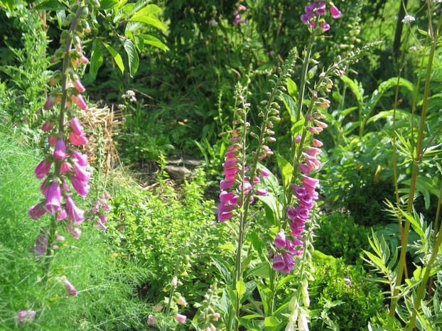 Digitalis purpurea - Fingerhut - ...