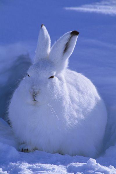 super popular bf47c 6e089 Schneehase: Scheues Tier ist Kult bei Kleidung und Accessoires