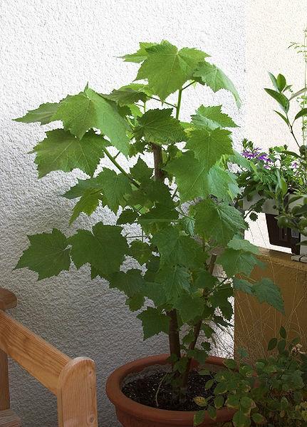 die zimmerlinde wie sie lange freude an dieser pflanze haben. Black Bedroom Furniture Sets. Home Design Ideas