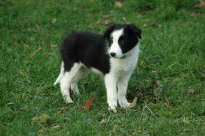 Kleiner Border-Collie
