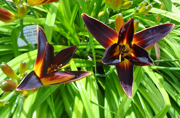 "Hemerocallis var. ""Vienna Night-Street"""