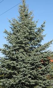 weihnachtsbaum k nstlich oder echt kaufen oder selbst. Black Bedroom Furniture Sets. Home Design Ideas