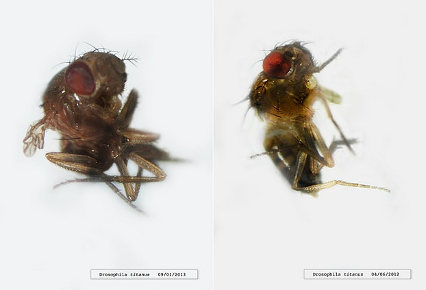 Drosophila titanus / Andy Gracie (UK)