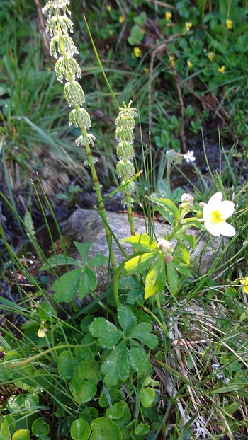 Anemone sylvestris - Wildform