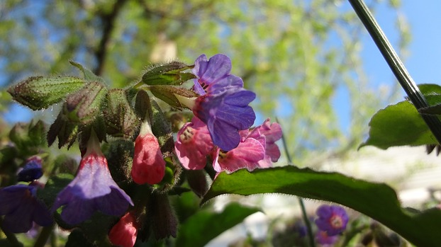 Pulmonaria officinalis, Echtes ...
