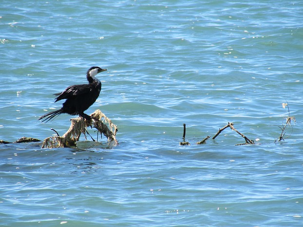 Little Shag - Motueka