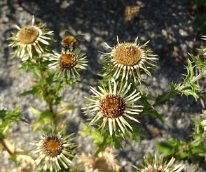 Carlina vulgaris/Golddistel