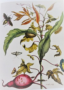 Illustration Maria Sibylla Merian