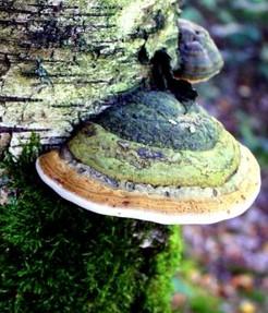 warum ein gesunder wald pilze braucht mykorrhiza saprobionten und parasiten. Black Bedroom Furniture Sets. Home Design Ideas