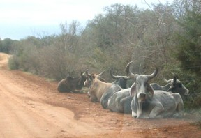 Hill Country Zebu