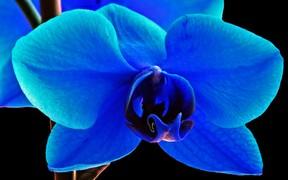 blaue orchidee wie sie gef rbte bl ten erkennen und orchideen selbst einf rben k nnen. Black Bedroom Furniture Sets. Home Design Ideas