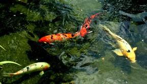 Der koi der japanische karpfen - Bassin japonais carpe koi asnieres sur seine ...