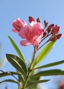 oleander und engelstrompete beliebte aber giftige. Black Bedroom Furniture Sets. Home Design Ideas