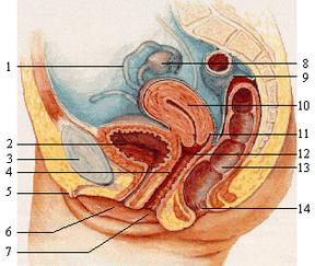 Muttermund schmerzen nach verkehr