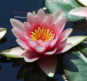 Seerose, Teichrose Und Seekanne: Blütenpracht Für Den Gartenteich Gartenteich Mit Seerosen Sorten