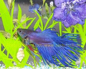 Buch ber labyrinthfische ein lebenswerk von horst linke for Kampffische arten