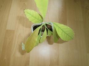 Avocadobaum Avocado Jungpflanze Anzucht