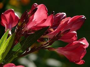 oleander berwintern schnitt bl te und vermehrung. Black Bedroom Furniture Sets. Home Design Ideas