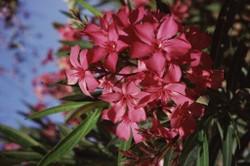oleander pflanzen und pflegen. Black Bedroom Furniture Sets. Home Design Ideas