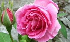 englische rosen gef llte duftende sch nheiten f r romantiker. Black Bedroom Furniture Sets. Home Design Ideas