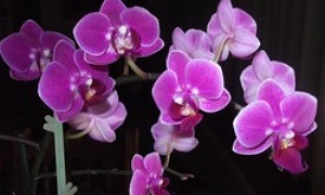 orchideen sch dlinge erkennen und bek mpfen. Black Bedroom Furniture Sets. Home Design Ideas