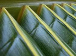 palmen die exotischen zimmerpflanzen aus samen selber ziehen. Black Bedroom Furniture Sets. Home Design Ideas