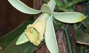 orchideen tipps f r die vegetative vermehrung. Black Bedroom Furniture Sets. Home Design Ideas