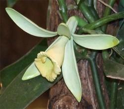 vanille eine kletternde orchidee liefert das wertvolle gew rz. Black Bedroom Furniture Sets. Home Design Ideas