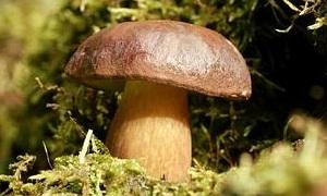 pilze sammeln in wald und wiese welche pilze wachsen wo. Black Bedroom Furniture Sets. Home Design Ideas