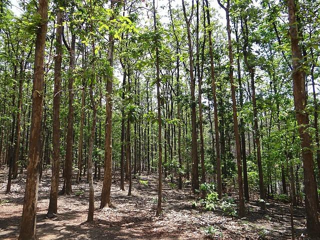 Teakbaum rinde  Teak als Heilpflanze