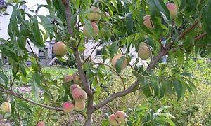 Gartengestaltung 5 tipps wie der garten zu einer erlebniswelt wird - Pfirsichbaum im garten ...