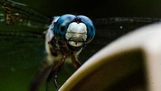 K nnen libellen stechen oder bei en for Konnen trauermucken stechen